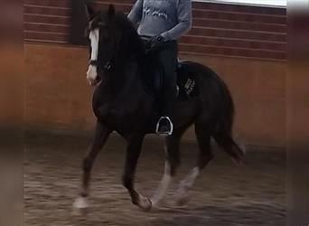 German Riding Pony, Mare, 8 years, 14.1 hh, Chestnut