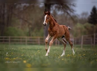 Lusitano Mix, Mare, Foal (04/2021), 16.1 hh, Bay