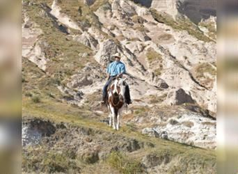 Paint Horse, Gelding, 13 years, 15.1 hh, Pinto