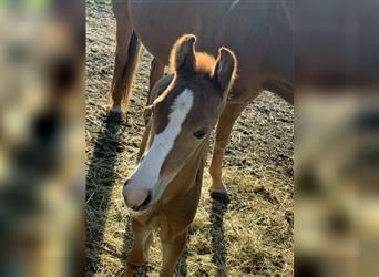 Tennessee walking horse, Mare, 1 year, 15.1 hh, Chestnut-Red