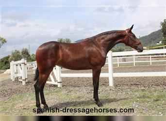 Andalusian, Mare, 2 years, 16.2 hh, Brown