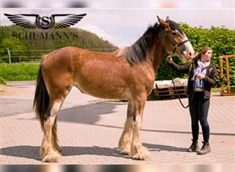 Clydesdale, Mare, 2 years, 16.2 hh, Brown