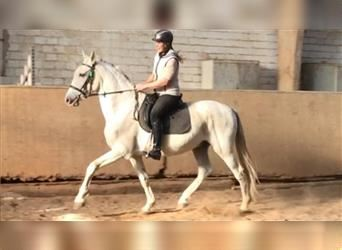 Other Warmbloods, Gelding, 16 years, 15.2 hh, Gray