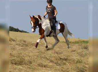 Pintos, Mare, 6 years, 15.2 hh, Pinto