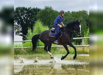 Anglo-Arab Mix, Gelding, 11 years, 17 hh, Brown