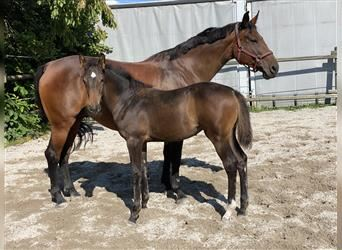 Baden Wuerttemberg, Mare, Foal (06/2021), 16.1 hh