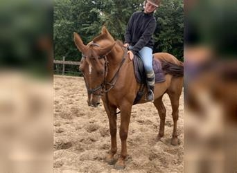 French Trotter, Gelding, 11 years, 16.1 hh, Chestnut-Red