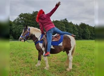 Gypsy Horse, Gelding, 11 years, 13.3 hh, Pinto