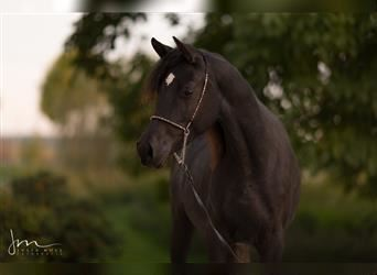 Straight Egyptian, Mare, 5 years, Black