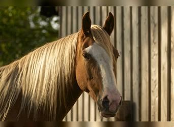 Tennessee walking horse, Mare, 14 years, 15.2 hh, Sabino