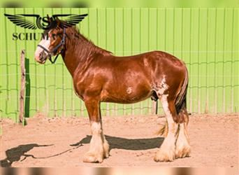 Clydesdale, Gelding, 3 years, 17 hh, Brown
