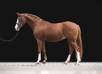 German Riding Pony, Mare, 10 years, 14.2 hh, Chestnut-Red