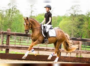 New Forest Pony, Gelding, 3 years, 14 hh, Chestnut-Red