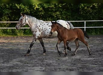 Other Warmbloods, Mare, 5 years, 15.1 hh, Leopard-Piebald