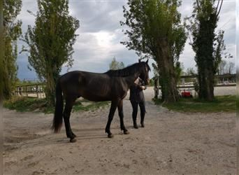 Arabian Partbred, Mare, 3 years, 15.2 hh, Chestnut-Red