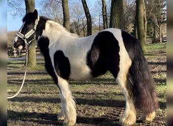 Gypsy Horse, Mare, 3 years, 13.2 hh, Pinto