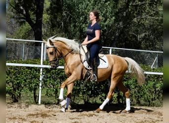 Andalusian, Gelding, 3 years, 15.1 hh, Palomino