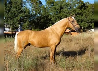 Andalusier, Wallach, 3 Jahre, 157 cm, Palomino