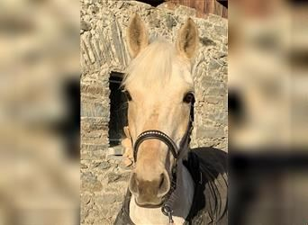New Forest Pony, Mare, 15 years, 14.2 hh, Palomino