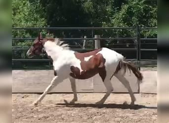 Paint Horse, Gelding, 2 years, Tobiano-all-colors