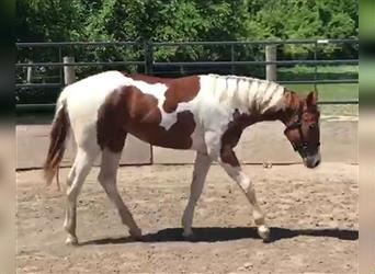 Paint Horse, Wallach, 2 Jahre, Tobiano-alle-Farben