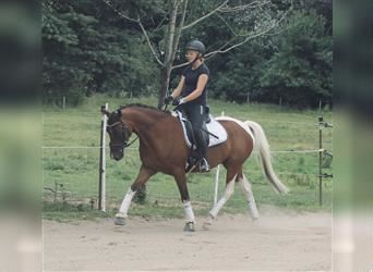 Pintos, Gelding, 5 years, 14.1 hh, Pinto