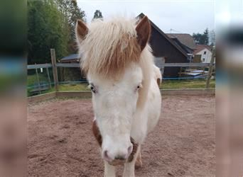 Icelandic Horse, Stallion, 2 years, 12.2 hh, Tovero-all-colors