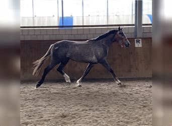 German Sport Horse, Mare, 4 years, 16.1 hh, Gray