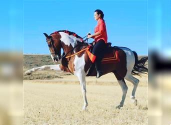 Andalusian Mix, Gelding, 12 years, 15.2 hh, Pinto