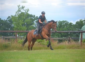 English Thoroughbred, Mare, 4 years, 16.1 hh, Brown