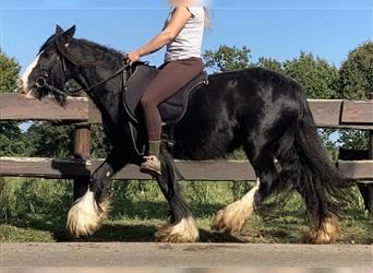 Gypsy Horse, Mare, 6 years, 12.2 hh, Black