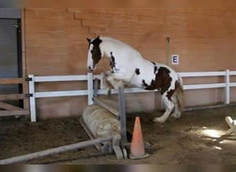 Clydesdale, Mare, 8 years