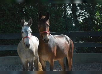 Mule, Mare, 10 years, 14.2 hh, Brown