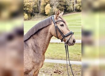 P.R.E. Mix, Mare, 7 years, 15.1 hh, Dun