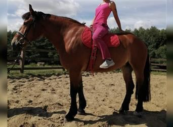Polish Coldblood Mix, Mare, 12 years, 15 hh, Brown