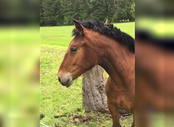 South German Coldblood, Mare, 1 year, 12.2 hh, Brown