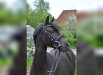 Small German riding horse, Mare, 6 years, 12.2 hh, Black