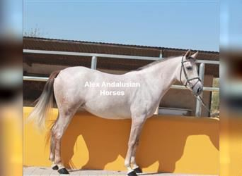 Andalusian, Mare, 4 years, 15 hh, Gray