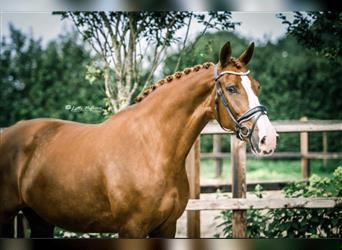 KWPN, Mare, 6 years, 16.2 hh, Chestnut-Red