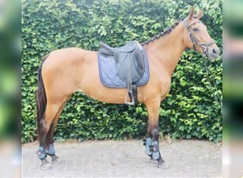 More ponies/small horses Mix, Mare, 12 years, 14.1 hh, Brown