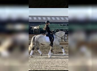New Forest Pony, Gelding, 7 years, 14.1 hh, Gray