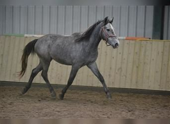 Other Breeds, Mare, 3 years, 13.3 hh, Gray