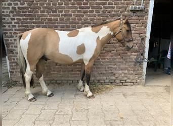 French riding pony, Gelding, 4 years, 14.2 hh, Pinto