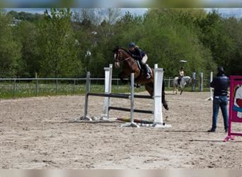 Welsh D (Cob), Mare, 8 years, 14.2 hh, Brown