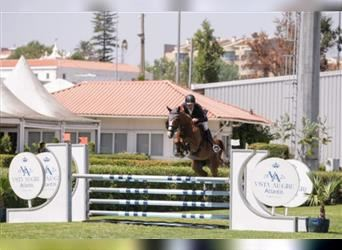 Portuguese Sport Horse, Mare, 10 years, 16.1 hh, Chestnut-Red