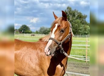 German Riding Pony, Mare, 2 years, 13.2 hh, Chestnut-Red