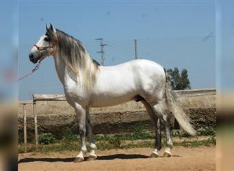 Andalusian, Stallion, 8 years, 15 hh, Gray