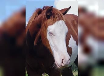 Paint Horse, Stallion, Foal (05/2021), Overo-all-colors