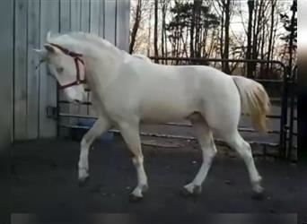 Tennessee walking horse, Stallion, 3 years, 15 hh, Tobiano-all-colors