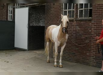 Andalusian, Stallion, 6 years, 15.1 hh, Pinto